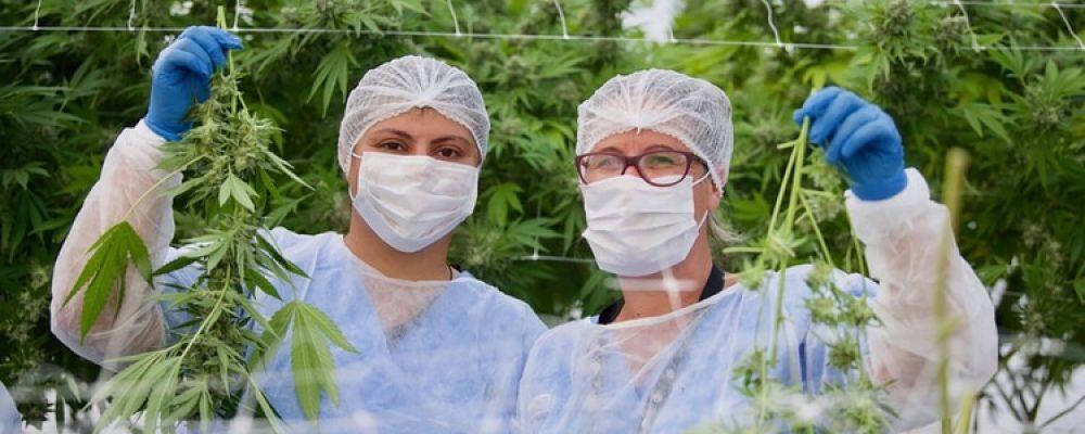 Uruguay potencia su apuesta al cannabis legal: 19 empresas ya cultivan sobre unas 1.000 hectáreas