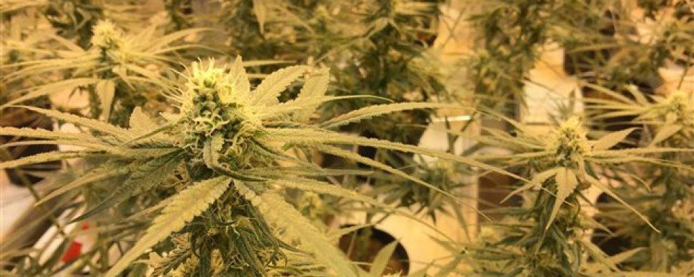 Abundan ofertas de empleo en la industria canadiense de la marihuana