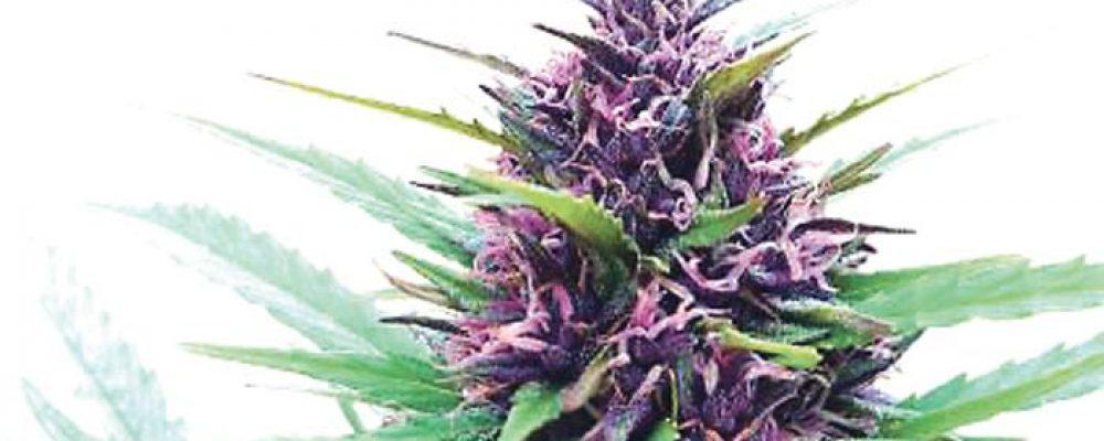 Perú promulgó ley de uso medicinal de la marihuana