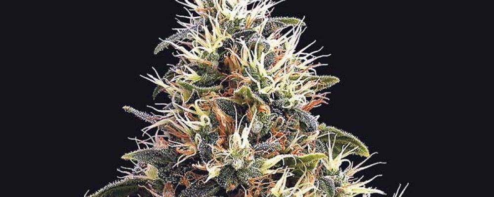 Colombia tiene 44 % del cupo mundial para cannabis medicinal