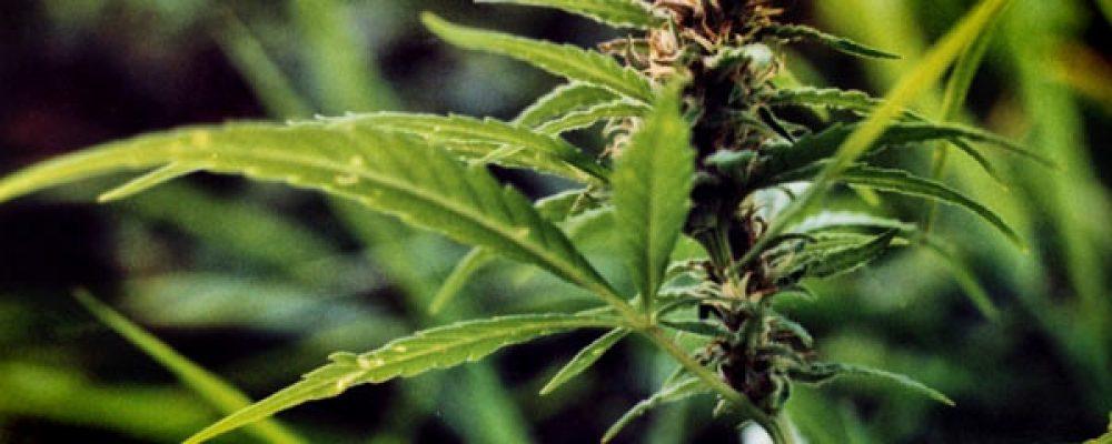 Podemos organiza en Dénia un debate sobre el uso del cannabis