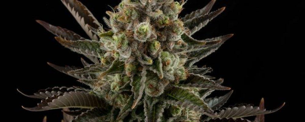 Las 10 variedades de marihuana más potentes que todo amante del THC debe cultivar