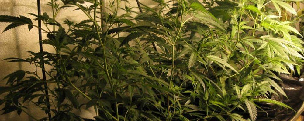 Holanda: El partido en el gobierno apoya la legalización del cultivo de cannabis