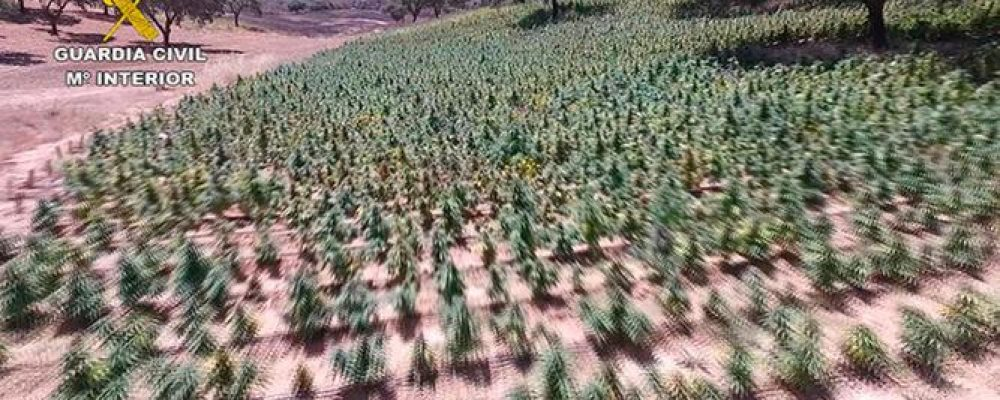 Intervienen 64.569 plantas de marihuana en Huelva