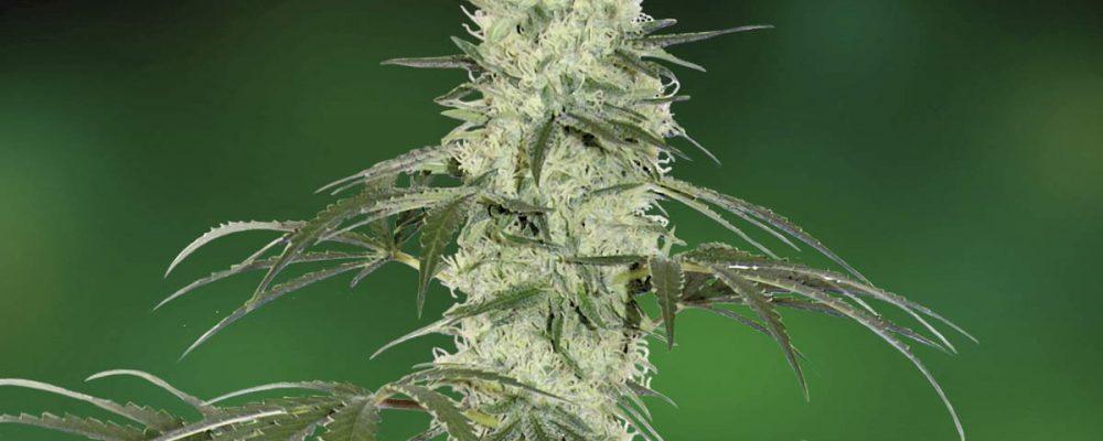 Todo lo que tienes que saber sobre plantas autoflorecientes (II)