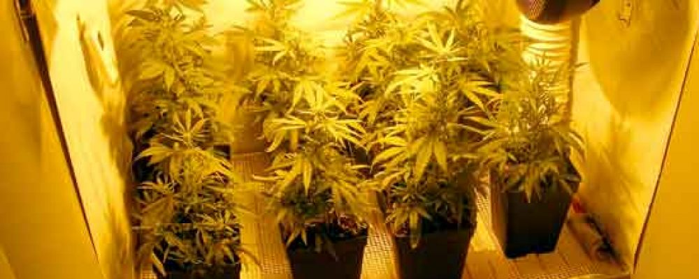 Cómo camuflar el olor de un cultivo de cannabis