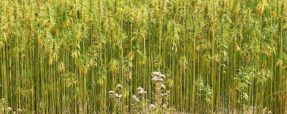 El cannabis como solución para regenerar y limpiar los suelos contaminados