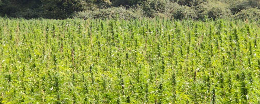 El potencial agrícola de Asturias como paraíso del «cannabis» legal