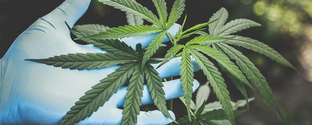 Esta variedad de cannabis podría absorber químicos tóxicos del suelo