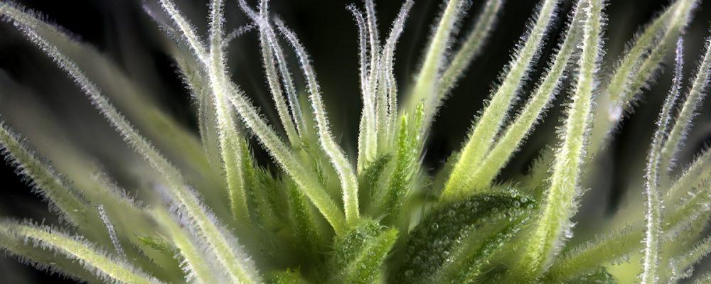 La importancia de los tricomas al cosechar marihuana