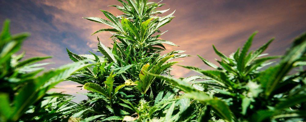 Guía básica de introducción al cultivo de cannabis