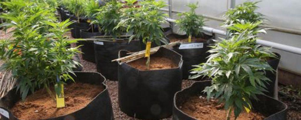 La marihuana crea riqueza