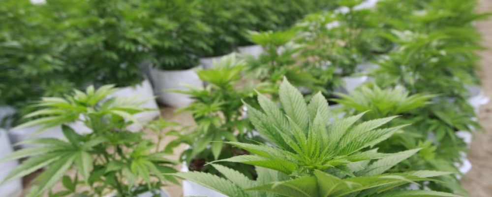 Así será el acceso a la marihuana medicinal en Colombia