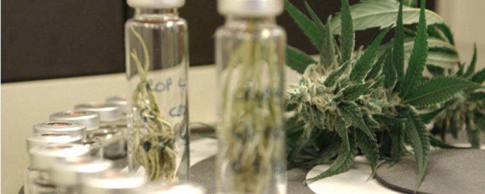 Una medicina a base de cannabis reduce a la mitad las convulsiones de las peores epilepsias