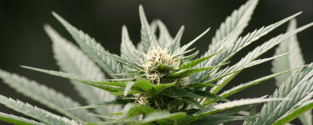 Google, Apple, Microsoft y el asalto de las tecnológicas al mercado del cannabis