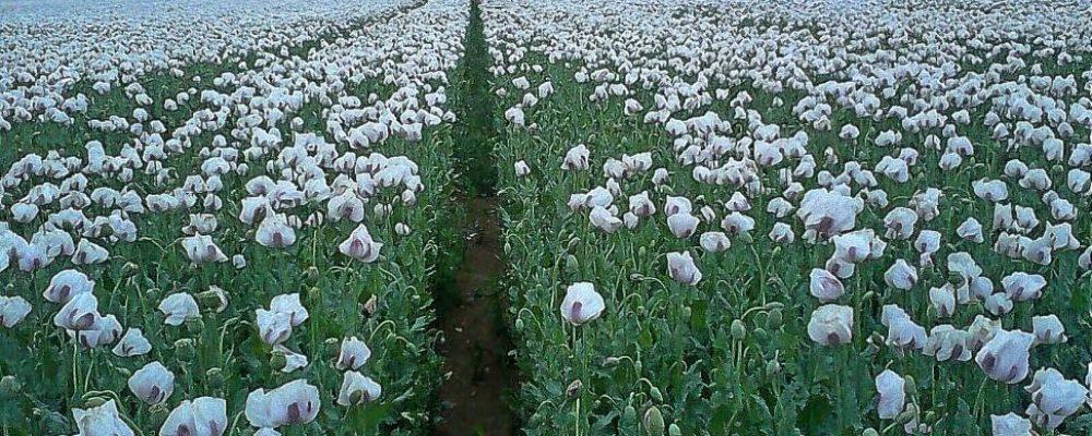 Juan Abelló pone a la venta su monopolio del opio en pleno debate sobre su venta descontrolada en EEUU