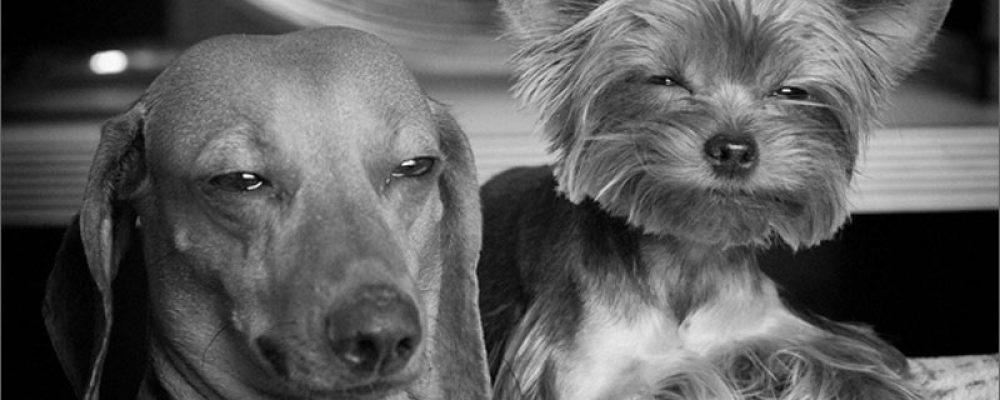 Un traficante indemnizará al dueño de unos perros intoxicados con su hachís