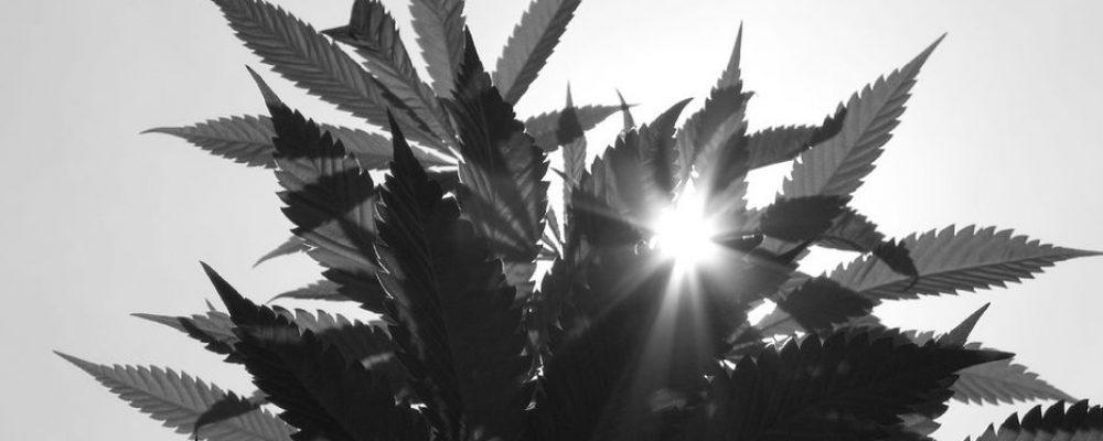 Los pigmeos del Congo se arriesgan a plantar marihuana para mejorar su vida