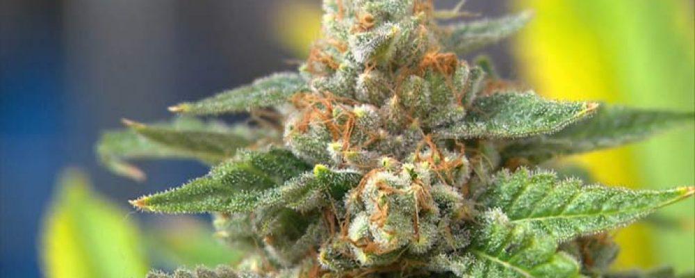 Absuelta una pareja que tenía 117 plantas de marihuana en su casa
