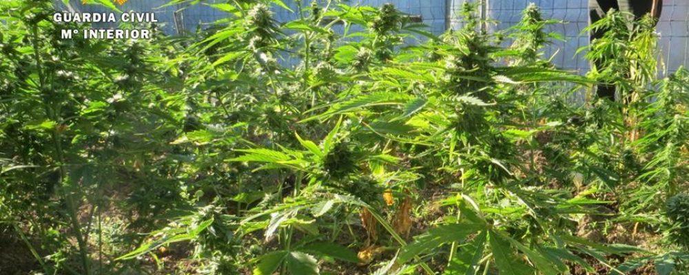 La guardia civil finaliza la campaña contra las plantaciones ilegales de marihuana