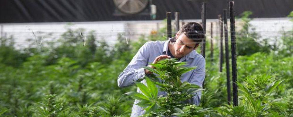 Este año se han incautado cerca de 40.000 plantas de marihuana en Euskadi