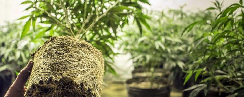Los distintos beneficios medicinales de las raíces de la marihuana